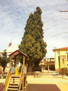 Ciprés del Convento en Bajo Aragón